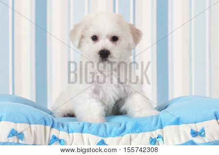 Two months old Pure breed Bichon Frise puppy sitting on the blue pillow