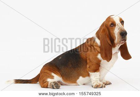 Dog, basset hound sitting on the white background, isolated