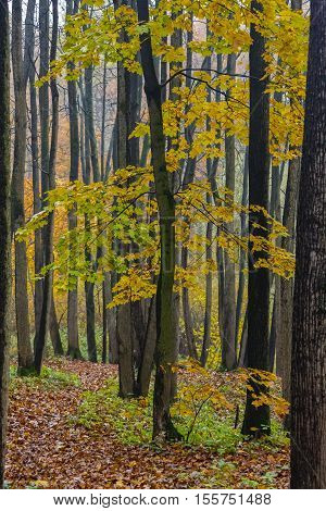 Autunm fall season in the deciduous wood