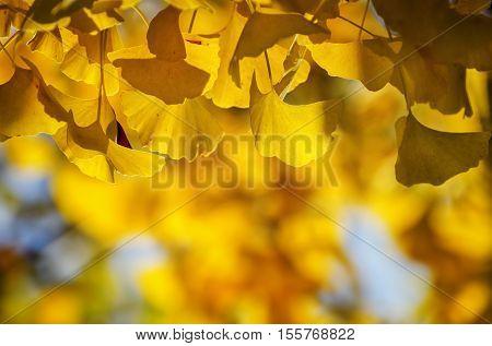 Photo of Golden Autumn Ginkgo Biloba Tree Leaves