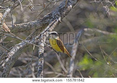 Great Kiskadee in Santa Ana National Wildlife Refuge in Texas