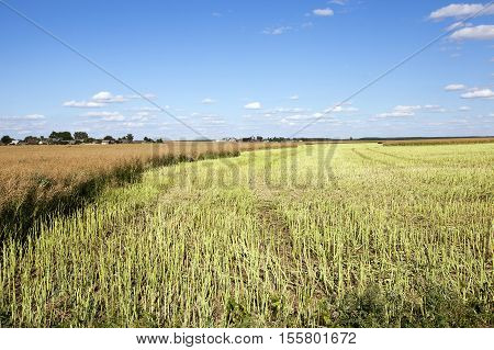 an agricultural field, which carried out the rape harvest, summer,