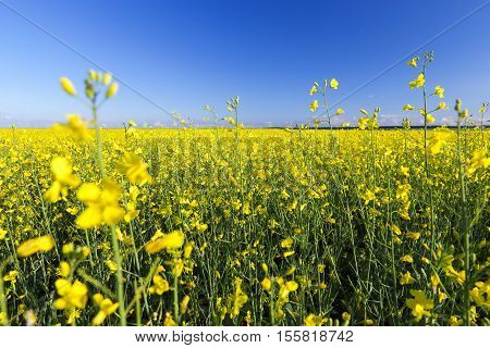 Yellow oilseed rape flower, photographed on a background of blue sky