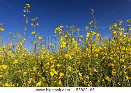 rape yellow flowers, photographed on a background of blue sky, shallow depth of field