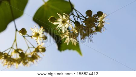 yellow flowers of linden trees, photographed close up during flowering