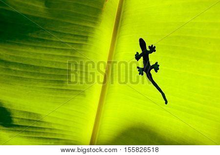 The Shadow Of Gecko Or Lizard On Green Yellow Banana's Leaf