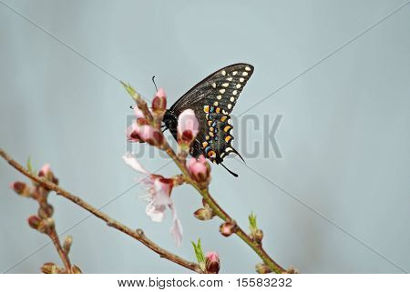 Schmetterling auf Pfirsichbaum