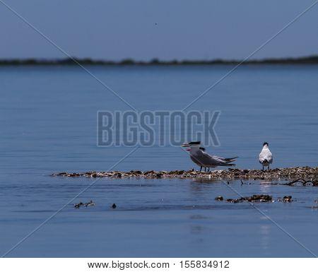 Caspian Tern wading on the Texas gulf coast.