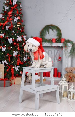 Christmas portrait of white puppy golden retriever on his head wearing a red cap of Santa Claus posing in the studio on a festive background of green elegant Christmas tree with red balls sitting on a white wooden platform