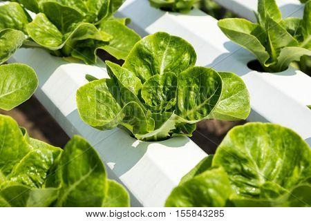 Green Cos Lettuce Salad In Hidroponic Farm