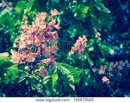 Chestnut flower in pink bloom. Partial focus background is blurred. Filter instagram