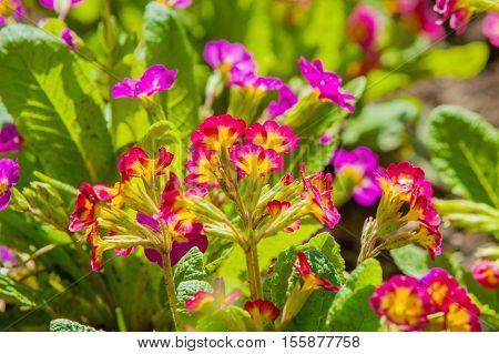 Primula veris. Primroses dissolve the flowerbed springtime, vibrant, cowslip, green