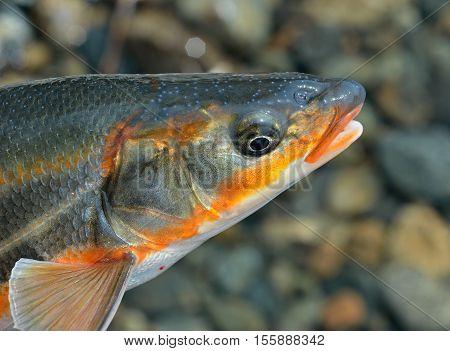 A close up of the head fish (Leuciscus brandti).