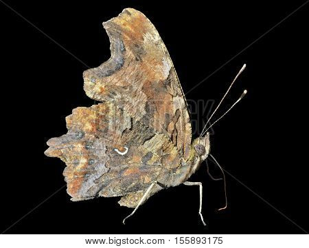 A close up of the butterfly (Polygonia C-album). Isolated on black.