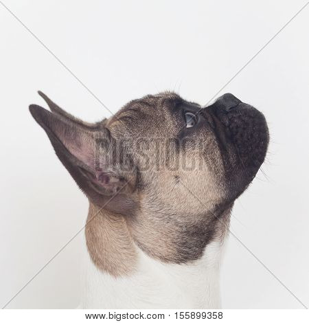 French bull dog puppy profile view, head