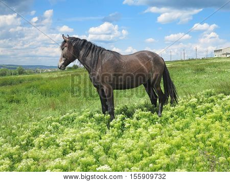 Black horse on a green meadow in a spring day