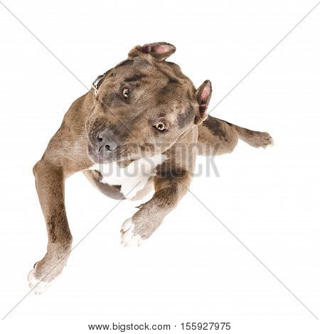 Portrait of a pit bull in the jump, top view, isolated on white background
