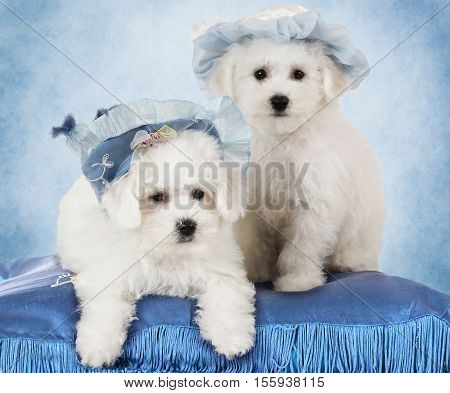 Portrait of Bichon Frise puppies (two months old) in hats in front of blue background