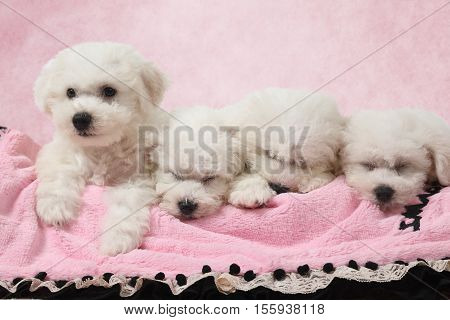 Two months old Pure breed Bichon Frise puppies sleeping in the bed