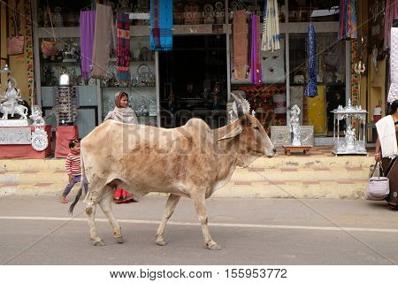 PUSHKAR, INDIA - FEBRUARY 17: cows strolling around in Pushkar, India. Most Hindus respect the cow for her gentle nature which represents the main teaching of Hinduism, on February 17, 2016.