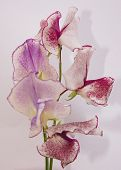 stock photo of sweetpea  - sweetpeas with a soft shadow behind - JPG