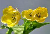 Three Yellow Tulips Closeup