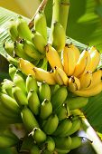 stock photo of banana tree  - Yellow and green bananas clustered on banana tree in midday - JPG
