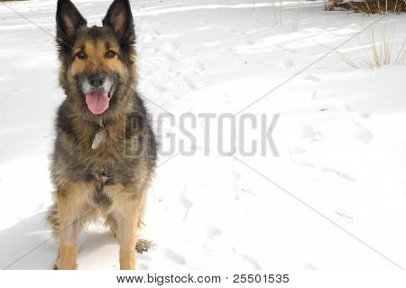 Happy German Shephard