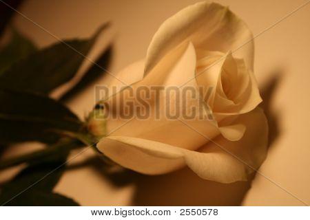 Plain Rose