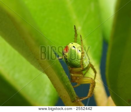 Macro Of Spider ( Araneus Diadematus )