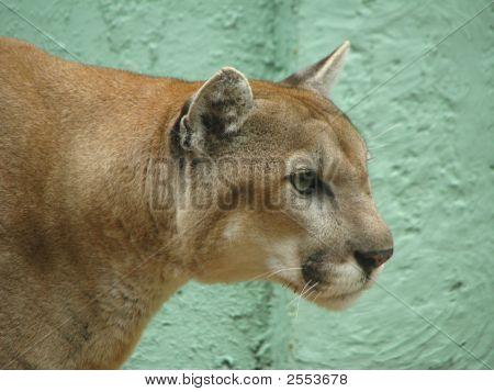 Florida Panther 2    Felidae Carnivora