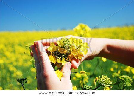 Bright yellow Brassica napus flowers in their hands