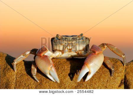 Common Shore Crab