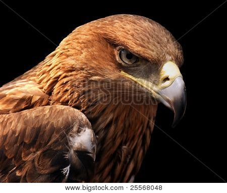 Eagle portrait isolated on black - Greater Spotted Eagle