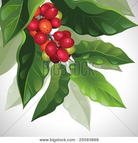 branch of ripe coffee