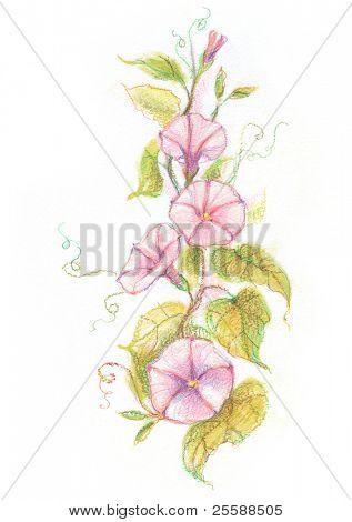 Painted pastel convolvulus flowers