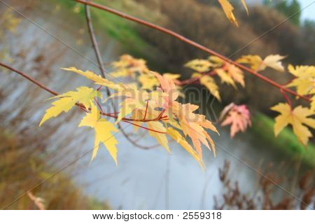 Maple Levaes In The Autumn Over The Water.
