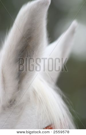 White Horse Ears Close Up