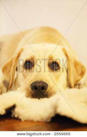 Labrador Goes Penitent