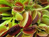 picture of flytrap  - Weird little plants a crop of Venus Fly Traps - JPG