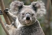 This Is A Close Up Of A Joey Koala poster