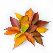 Different colored fall leaves. Set of olorful leaves isolated on white background. Autumn beautiful  poster