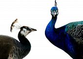 pic of peahen  - Peacock is attracting peahen with his bright and vibrant color - JPG