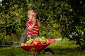 Child Picking Apples On A Farm. Little Boy Playing In Apple Tree Orchard. Kid Pick Fruit And Put The poster