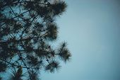 Pine And Pine Occurs In The Mountains During The Cold Winter Trees. And The Pine Is Dry. Big Wildern poster