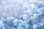 Christmas Winter Snowy Background. Blue Pine Tree Branches Under Winter Falling Snow, Closeup Of Win poster