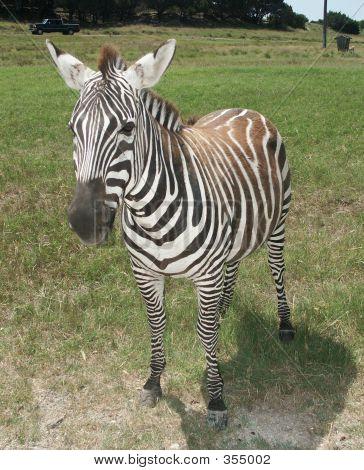 Grants Zebra1
