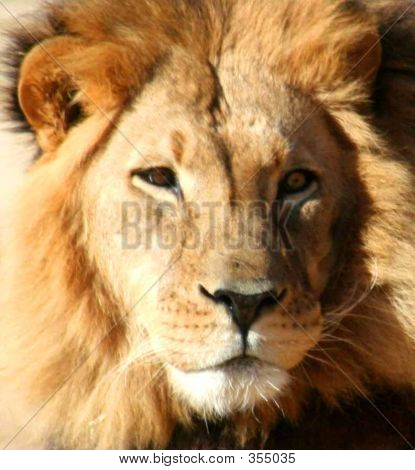 Close Up Of Lion