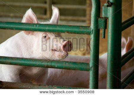 Friendly Pig
