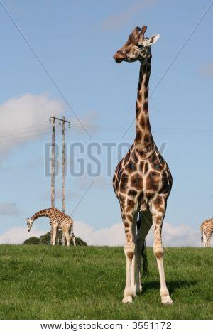 Watching Giraffe